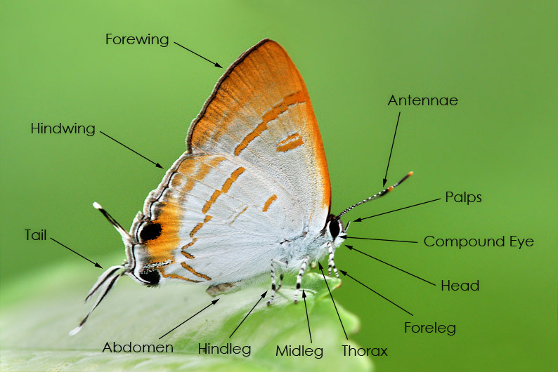 Butterfly Body Parts : Butterflycircle checklist